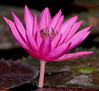 McKee Botanical Garden - LAYDEKERI FULGENS Water Lily