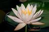 McKee Botanical Garden - Hermine Water Lily