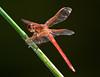 McKee Botanical Garden - Neon Skimmer Dragfly (Libellula croceipenniss)