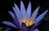 McKee Botanical Garden - Terri Dunn Water Lily