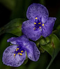 A couple of Tradescantia Ohiensis flowers