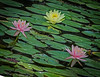 Water Lily  - This is image was taken with two different photos, and stacked together to make a sharp picture.