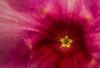 Cherries Jubilee - Allamanda cathartica