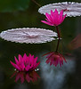 Two stacked photos using Photoshop CS6, so I could have both of the Water Lilies in sharp focus