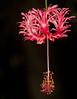 Hibiscus schizopetalus - Japanese Lanterns Malvaceae