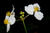 Three Sagittaria cuneata flowers