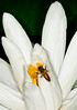 Water Lily with a bee