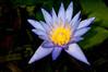 Terri Dunn Water Lily