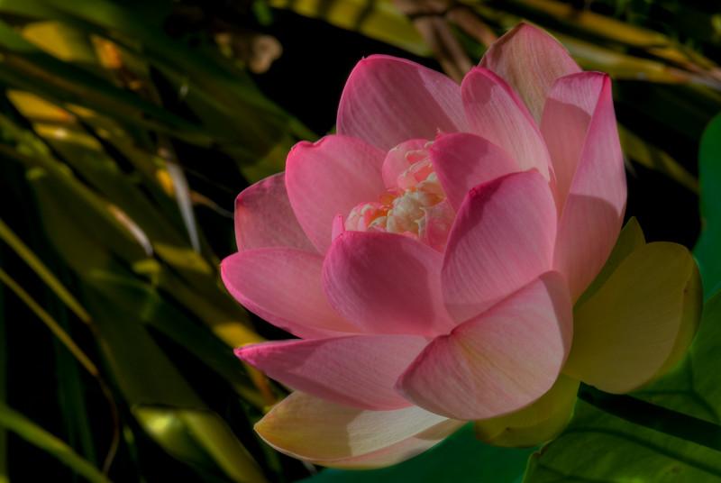 McKee Botanical Garden - Water Lily