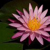 McKee Botanical Garden - Water Lily (Used Flash)
