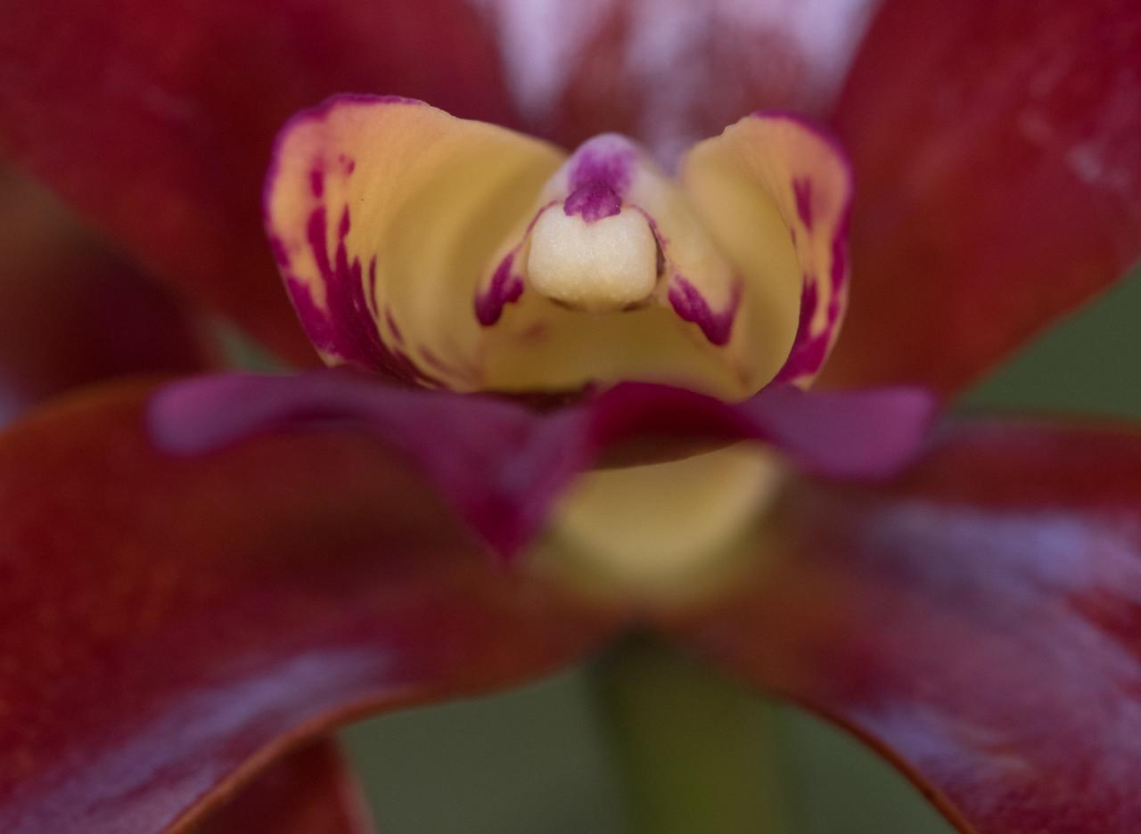 Cattleya Clones