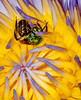 Apinae Bee in a Water Lily