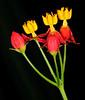 Asclepias curassavica (Milkweed)