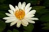 McKee Botanical Gardens - Water Lily