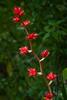 Aechmea 'Blue Rain' - Blue rain Bromeliad