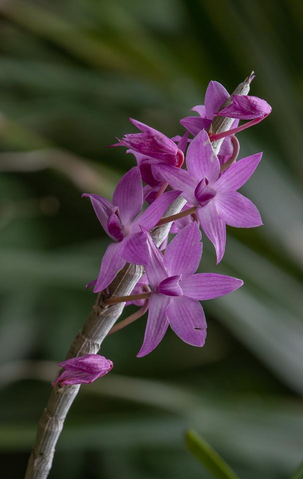 Dendrobium superbum