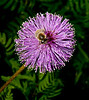 Mimosa Flower with a Bee
