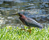 Green Heron going for a walk