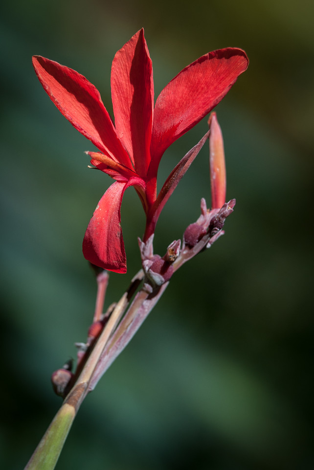 • Location - McKee Botanical Gardens in Vero Beach<br /> • Canna Lily bud