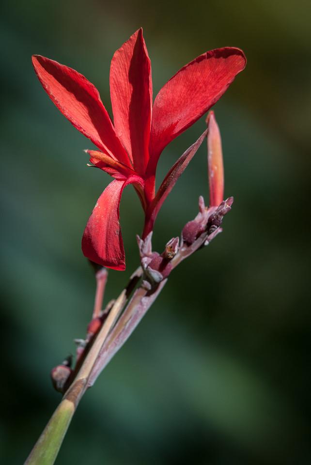 • Location - McKee Botanical Gardens in Vero Beach<br /> • Canna Lily bud