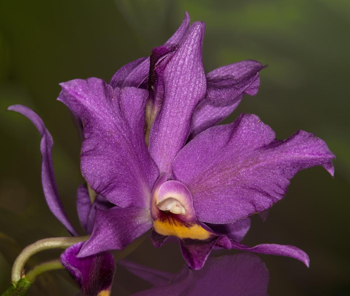 • Location - McKee Botanical Gardens in Vero Beach<br /> • Cattleya Orchid