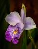 • Location - McKee Botanical Gardens in Vero Beach<br /> • Blue Flag Iris