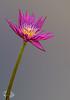 • Location - McKee Botanical Gardens in Vero Beach<br /> • Water Lily