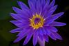 • Location - McKee Botanical Garden, Vero Beach<br /> • Water Lily