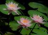 Water Lily taken at McKee Botanical Gardens in Vero Beach Florida - Colorado
