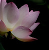 Water Lily taken at McKee Botanical Gardens in Vero Beach Florida - Lotus : Mrs. Perry D. Slocum