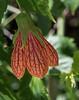 Abutilon/flowering maple