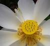 White lotus - Mauritius