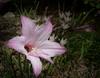 Rain Lily - Zepheranthes