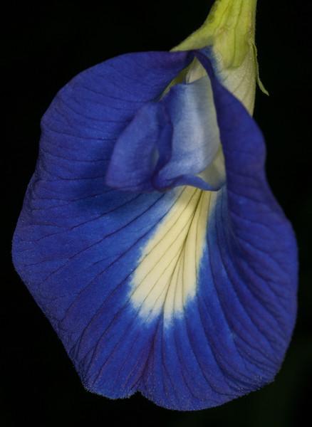 Clitoria Ternatea