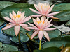 Trio of Water Lilies
