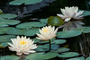 Trio of Water Lily