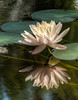 Water Lily with its reflection
