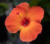 Orange Hibisus