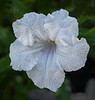 White Mexican petunia