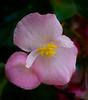 Clubed Begonia