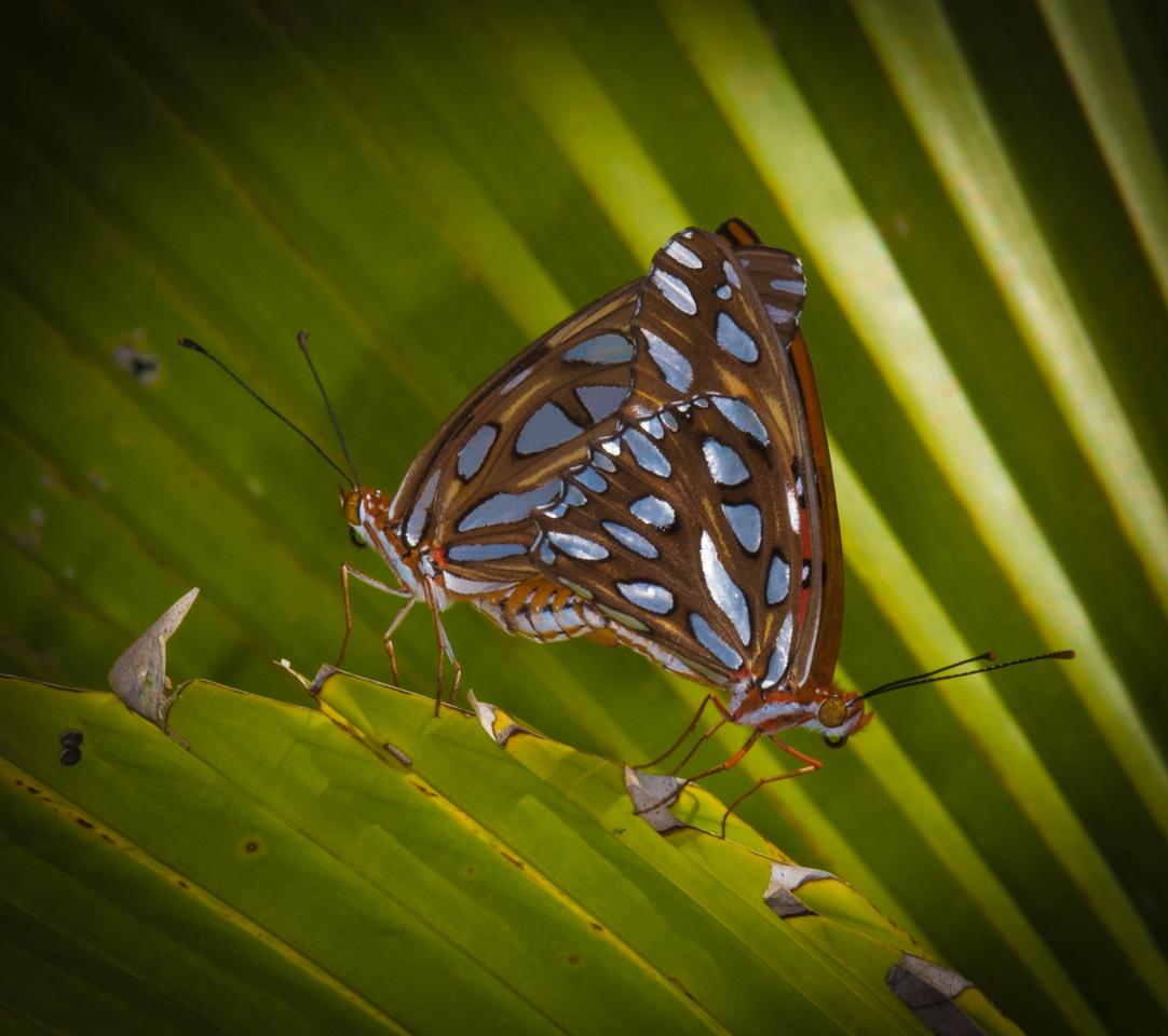 • Location - Rockledge Gardens<br /> • Gulf Fritillary Butterfly