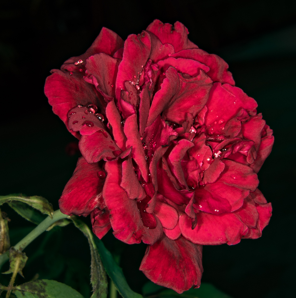 • Location - Rockledge Gardens<br /> • Camellia