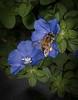 • Location - Rockledge Gardens<br /> • Honey Bee