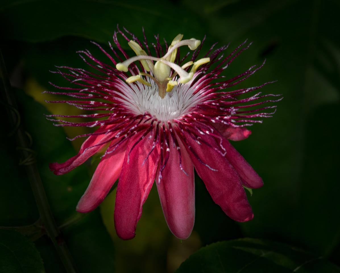 • Location - Rockledge Gardens<br /> • Passion Flower