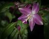 • Location - Rockledge Gardens<br /> • Spathoglottis Orchid