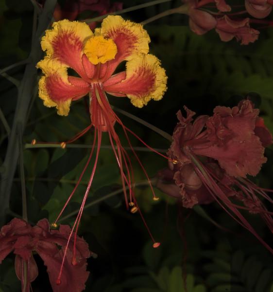 • Location - Rockledge Gardens<br /> • Pride of Barbados