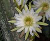 • Location - Indialantic<br /> • Night Blooming cactus