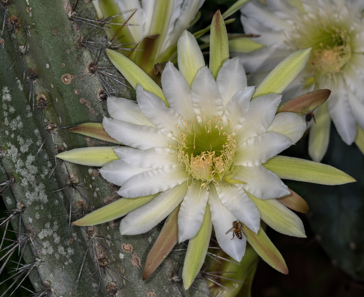 • Location - Indialantic<br /> • Night Blooming cactus