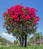 Neighborhood Flora - Bougainvillea Tree