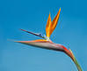 Neighborhood Flora - Bird of Paradise